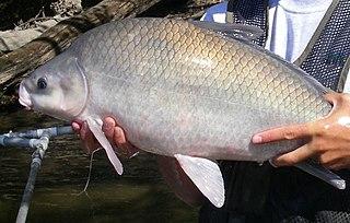 Smallmouth buffalo species of fish