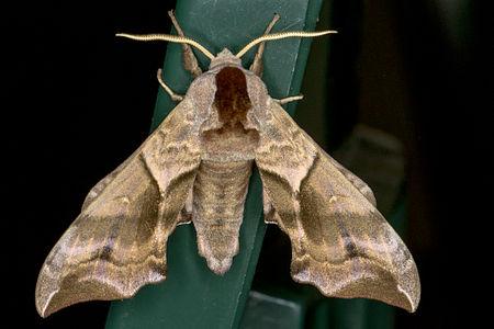 Smerinthus ocellata, Lodz(Poland)05(js).jpg
