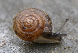 Snail in house with hair, closeup.jpg