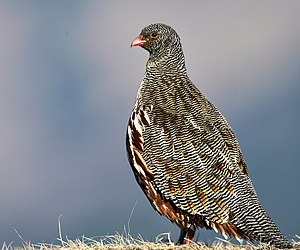 Snow partridge - Snow Partridge from Kedarnath Wildlife Sanctuary At Tungnath, Uttarakhand, India