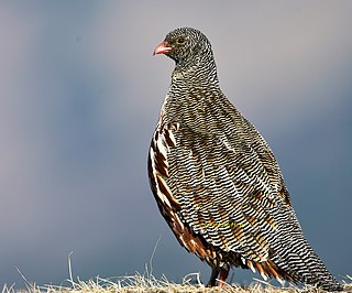 Snow partridge Species of bird