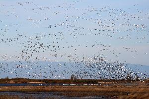 Sacramento National Wildlife Refuge Complex - Birds flying at Sacramento National Wildlife Refuge