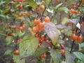 Solanum triflorum 01-10-2005 11.11.40.JPG