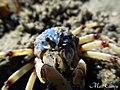 Soldier Crab (Mictyris longicarpus) (8239197527).jpg