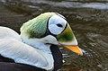 Somateria fischeri (Spectacled Eider - Plueschkopfente) - Weltvogelpark Walsrode 2012-07.jpg