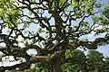 Sophora japonica tortuosa - Laeken (2).JPG