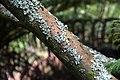 Sophora microphylla in Auckland Botanic Gardens 03.jpg