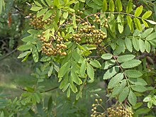 Sorbus aucuparia.leaf.jpg
