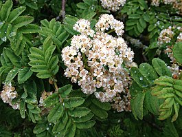 Sorbus maderensis flowers and foliage.jpg