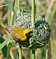 Southern Masked Weaver (Ploceus velatus) male on nest ... (32743606176).jpg
