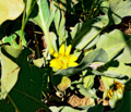Southern Mule's Ears.png