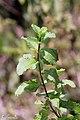 Spearmint (Mentha spicata subsp. spicata ) പുതിന. (39325988144).jpg
