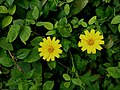 Sphagneticola trilobata,Singapore daisy 2.jpg