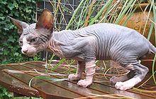 Sphynx cat - Wikipedia