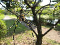 Spider in Mito2.JPG