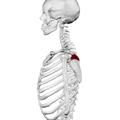 Spine of scapula03.png