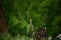 Spinus tristis springtime, West Virginia ForestWander.jpg