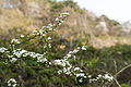 Spiraea prunifolia var. simpliciflora 2014년 4월 9일 (13768076013).jpg