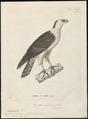 Spizaëtus melanoleucus - 1700-1880 - Print - Iconographia Zoologica - Special Collections University of Amsterdam - UBA01 IZ18100225.tif