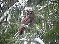 Spotted Owl (15529156514).jpg