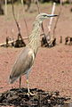 Squacco Heron, Ardeola ralloides at Marievale Nature Reserve, Gauteng, South Africa (15639989101).jpg