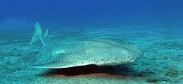 Photo of an angelshark swimming just above the bottom