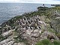 Staple Island Puffins - geograph.org.uk - 957395.jpg