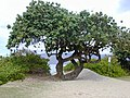 Starr-010309-0520-Hibiscus tiliaceus-habit-Kihei-Maui (24164250479).jpg
