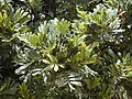 Starr-010419-0017-Filicium decipiens-leaves-Kula Community Center-Maui (24506001396).jpg