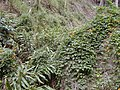 Starr-011026-0040-Thunbergia alata-smothering habit-Maliko Gulch Piiholo-Maui (24247312200).jpg