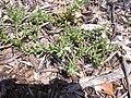 Starr-040318-0017-Portulaca villosa-flowers-Maui Nui Botanical Garden-Maui (24581790732).jpg