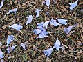 Starr-070519-7139-Jacaranda mimosifolia-flowers on ground-Makawao-Maui (24863056276).jpg