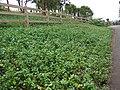 Starr-070621-7426-Vinca major-habit-Oluolu Rd Kula-Maui (24262931373).jpg
