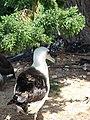 Starr-080604-6192-Juniperus bermudiana-habit with Laysan albatross-Road to Marine barracks Sand Island-Midway Atoll (24545828799).jpg