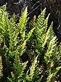Starr-081014-0166-Asplenium adiantum nigrum-habit-Halemauu Trail Haleakala National Park-Maui (24899933346).jpg