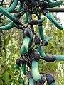 Starr-090430-6829-Strongylodon macrobotrys-flowers-Enchanting Floral Gardens of Kula-Maui (24585784099).jpg