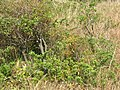Starr-090526-9269-Cassytha filiformis-on akia-West Poelua West Maui-Maui (24589564599).jpg