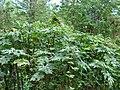 Starr-090601-8698-Montanoa hibiscifolia-leaves-Ulupalakua-Maui (24867619531).jpg