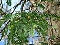 Starr-090601-8709-Tamarindus indica-leaves-Ulupalakua-Maui (24331180684).jpg