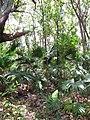 Starr-090610-0608-Livistona chinensis-wilding habit in Eucalyptus understory-Haiku-Maui (24337218303).jpg