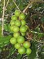 Starr-090804-3777-Macadamia integrifolia-fruit-MISC HQ Piiholo-Maui (24675785870).jpg