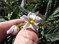 Starr-091020-8385-Solanum muricatum-flowers-Kula Experiment Station-Maui (24868496932).jpg