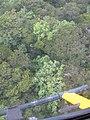 Starr-091120-1453-Polyscias oahuensis-aerial view-Koolau Forest Reserve East Maui-Maui (24872605312).jpg