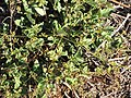 Starr-091222-1001-Boerhavia sp-habit-Kealaikahiki-Kahoolawe (24992986125).jpg