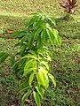 Starr-110330-3590-Litchi chinensis-habit-Garden of Eden Keanae-Maui (41358436651).jpg