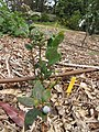 Starr-110621-6254-Vaccinium hybrid-Southern highbush cv Jubilee habit-Hawea Pl Olinda-Maui (24470390933).jpg
