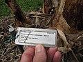 Starr-120606-6841-Musa x paradisiaca-Maoli Maia Koae or Manini variegated label M acuminata x balbisiana cv Manini-Kahanu Garden NTBG Hana-Maui (24517538723).jpg