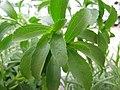 Starr-120613-9646-Stevia rebaudiana-leaves-Walmart Nursery Kahului-Maui (24849569220).jpg