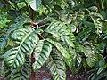 Starr-121108-0844-Canarium ovatum-leaves-Pali o Waipio-Maui (25103223641).jpg