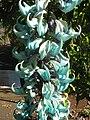 Starr-130313-1737-Strongylodon macrobotrys-flowers-Enchanting Floral Gardens of Kula-Maui (24580613483).jpg